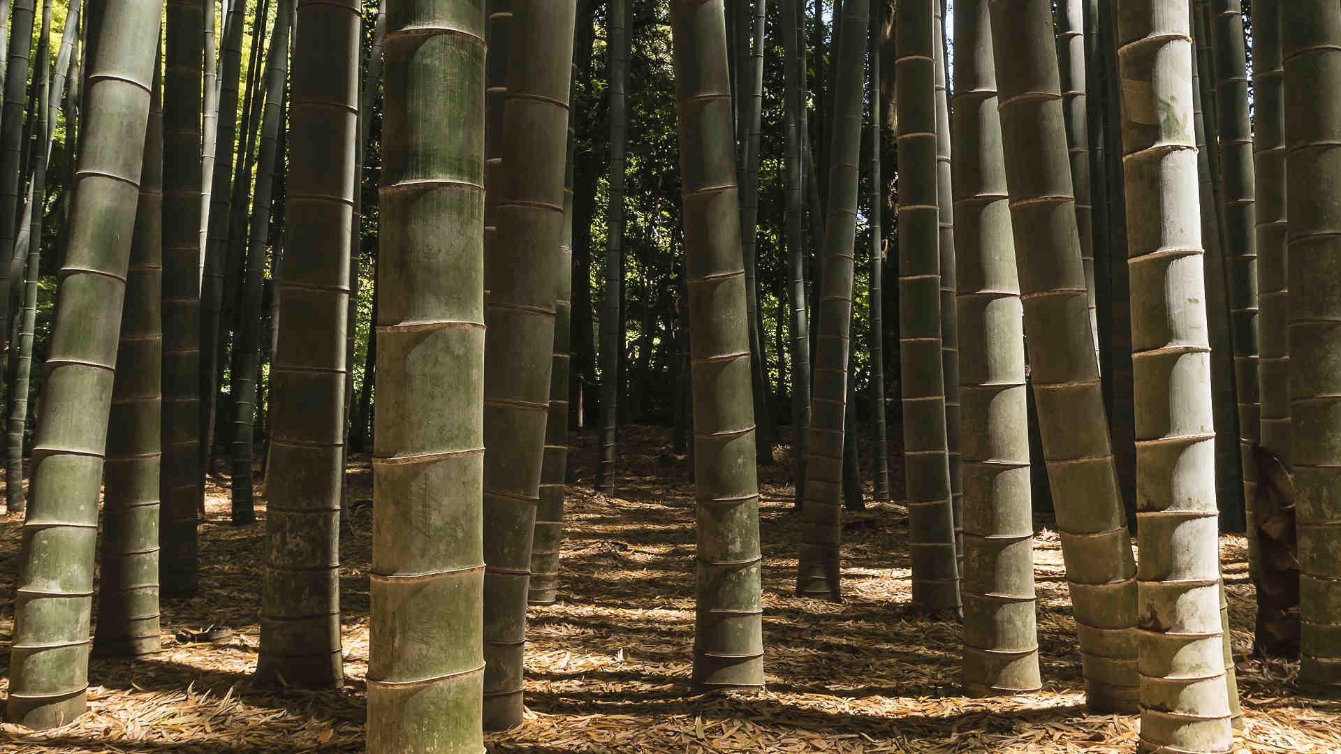 Bambuswald mit beeindruckenden Bambusstämmen von großem Durchmesser.