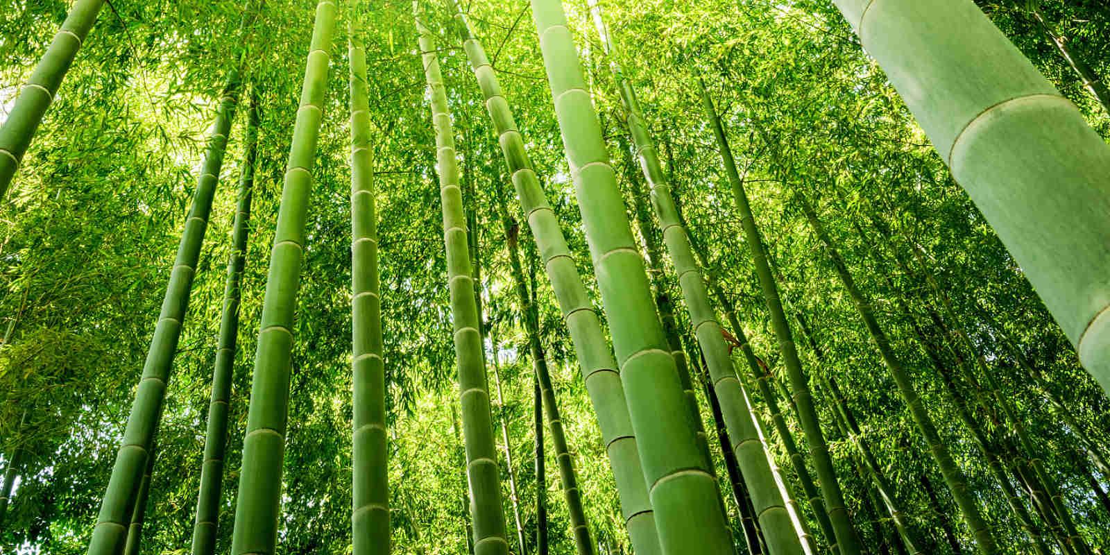 Bambuswald bei Sonne in intensivem grün.