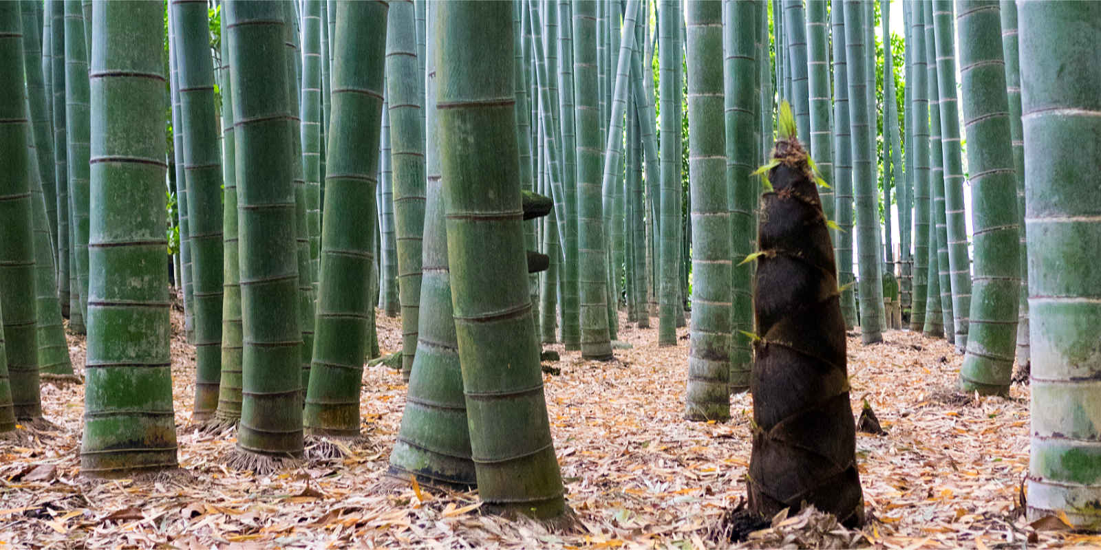 Junger Bambustrieb mit gleichem Durchmesser wie ausgewachsene Stämme.